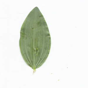 Photographie n°2422911 du taxon Polygonatum multiflorum (L.) All. [1785]