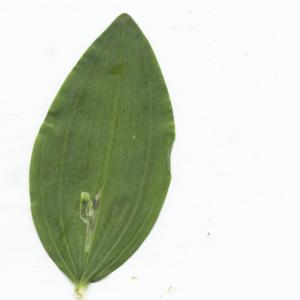 Photographie n°2422912 du taxon Polygonatum multiflorum (L.) All. [1785]
