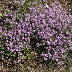 Photographie n°2422940 du taxon Thymus serpyllum subsp. praecox (Opiz) Vollm. [1914]