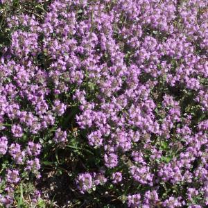 Photographie n°2422941 du taxon Thymus serpyllum subsp. praecox (Opiz) Vollm. [1914]