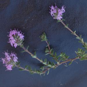 Photographie n°2422942 du taxon Thymus serpyllum subsp. praecox (Opiz) Vollm. [1914]