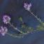 Liliane Roubaudi - Thymus serpyllum subsp. praecox (Opiz) Vollm. [1914]
