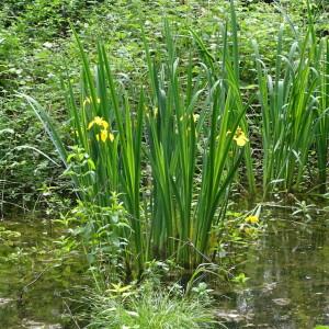 Photographie n°2422995 du taxon Iris pseudacorus L. [1753]