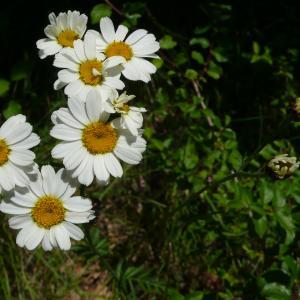 Photographie n°2423220 du taxon Tanacetum corymbosum (L.) Sch.Bip. [1844]