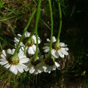 Photographie n°2423229 du taxon Tanacetum corymbosum (L.) Sch.Bip. [1844]