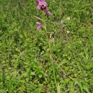 Photographie n°2423327 du taxon Ophrys fuciflora (F.W.Schmidt) Moench [1802]