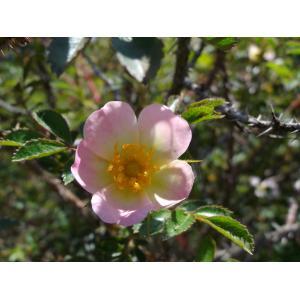 Rosa x caviniacensis Ozanon [1892] (Églantier de l'Aveyron)