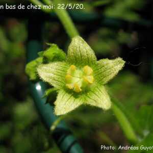 Photographie n°2423387 du taxon Bryonia dioica Jacq. [1774]