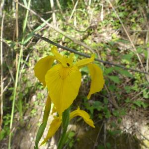 Photographie n°2423481 du taxon Iris pseudacorus L. [1753]