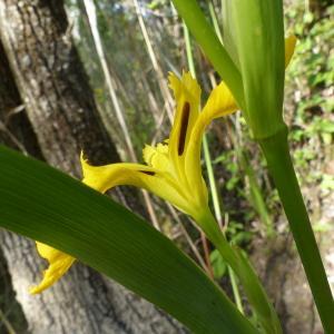 Photographie n°2423482 du taxon Iris pseudacorus L. [1753]