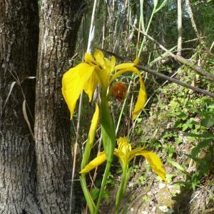 Photographie n°2423483 du taxon Iris pseudacorus L. [1753]
