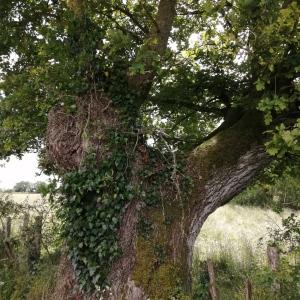 Photographie n°2423550 du taxon Quercus sp.