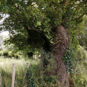 Photographie n°2423551 du taxon Quercus sp.