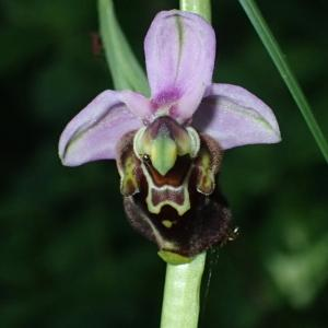 Photographie n°2423563 du taxon Ophrys fuciflora (F.W.Schmidt) Moench [1802]