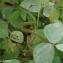 Calopogonium mucunoides Desv. [nn1720] par Guy Van Laere le 07/05/2020 - Trois-Rivières