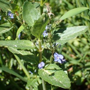 Photographie n°2424468 du taxon Veronica beccabunga L.