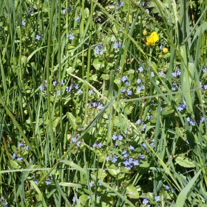 Photographie n°2424470 du taxon Veronica beccabunga L.