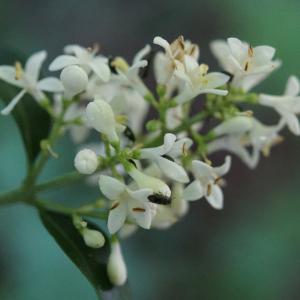 Photographie n°2424536 du taxon Ligustrum vulgare L. [1753]