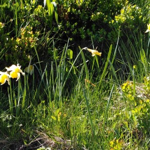 Photographie n°2424606 du taxon Narcissus pseudonarcissus L. [1753]