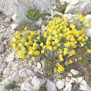 Photographie n°2424620 du taxon Helianthemum syriacum (Jacq.) Dum.Cours. [1802]