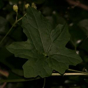 Photographie n°2424728 du taxon Bryonia dioica Jacq. [1774]