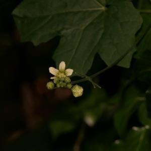 Photographie n°2424729 du taxon Bryonia dioica Jacq. [1774]