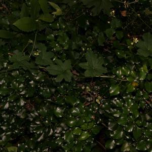Photographie n°2424730 du taxon Bryonia dioica Jacq. [1774]
