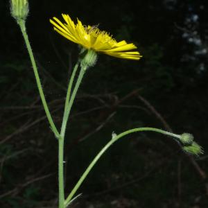 Photographie n°2424809 du taxon Hieracium laevigatum Willd. [1803]