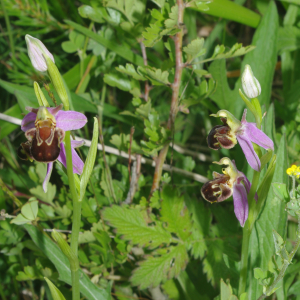 Photographie n°2424822 du taxon Ophrys apifera Huds. [1762]