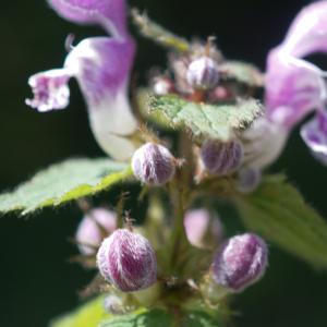 Photographie n°2424923 du taxon Lamium maculatum (L.) L. [1763]