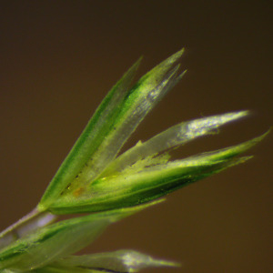 Photographie n°2424980 du taxon Koeleria macrantha (Ledeb.) Schult. [1824]