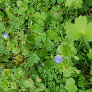 Photographie n°2424997 du taxon Veronica chamaedrys L. [1753]