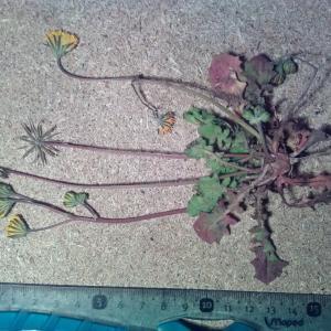 Photographie n°2425428 du taxon Crepis sancta (L.) Bornm. [1913]