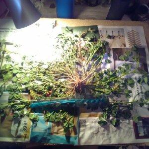 Photographie n°2425519 du taxon Fabaceae