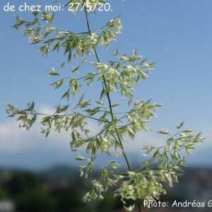 Photographie n°2425686 du taxon Agrostis capillaris L. [1753]