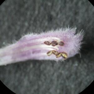 Photographie n°2425693 du taxon Nepeta cataria L. [1753]