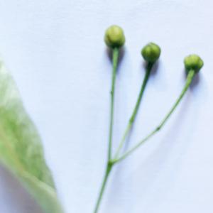 Photographie n°2425745 du taxon Tilia platyphyllos Scop. [1771]