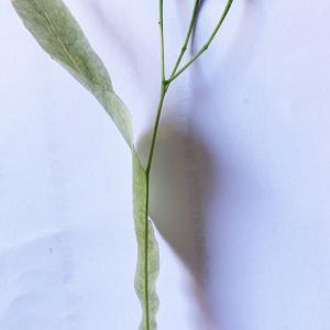 Photographie n°2425746 du taxon Tilia platyphyllos Scop. [1771]