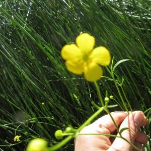 Photographie n°2425935 du taxon Ranunculus ophioglossifolius Vill. [1789]