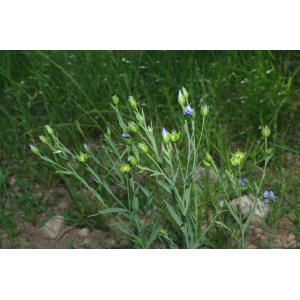 Linum usitatissimum L. subsp. usitatissimum