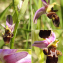 Christian Widmann - Ophrys scolopax subsp. scolopax