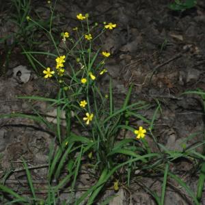 Photographie n°2426259 du taxon Ranunculus flammula L. [1753]
