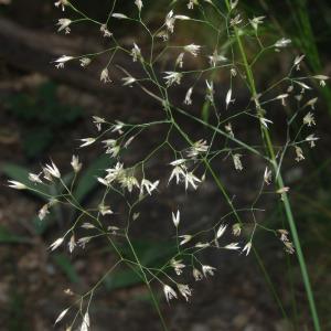Photographie n°2426342 du taxon Agrostis canina L. [1753]