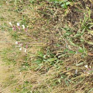 Photographie n°2426398 du taxon Silene latifolia subsp. alba (Mill.) Greuter & Burdet