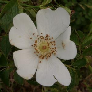Photographie n°2426649 du taxon Rosa agrestis Savi [1798]