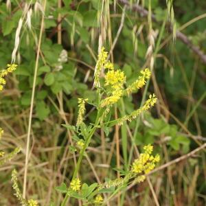 Photographie n°2426654 du taxon Melilotus officinalis (L.) Lam. [1779]