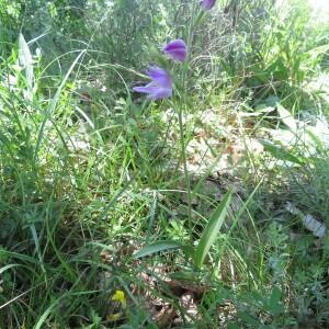 Photographie n°2427249 du taxon Cephalanthera rubra (L.) Rich.