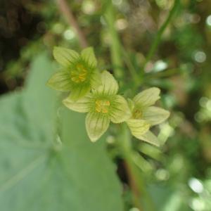 Photographie n°2427481 du taxon Bryonia dioica Jacq.