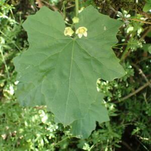 Photographie n°2427483 du taxon Bryonia dioica Jacq.