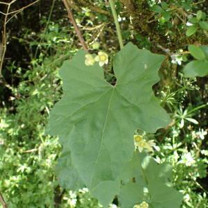 Photographie n°2427484 du taxon Bryonia dioica Jacq.